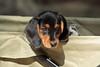 Teckel/Dachshund puppy (K.Verhulst) Tags: teckel dachshund pup puppie hond dog pet huisdier amersfoortzoo puppy sunrays5 coth5