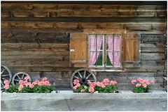 La Valle Aurina ... (Augusta Onida) Tags: valleaurina altoadige italia italy europa europe casa casadilegno woodhouse geranio fiore rosa geranium finestra window ruota whell tendina curtain leicam dolomiti patrimoniounesco