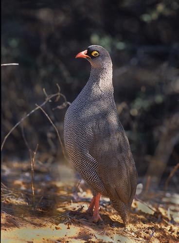 Red-billed  Spurfowl , 2964