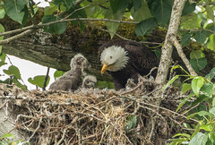 Parent Eagle feeding the little ones. (Peter Bangayan) Tags: smileonsaturday featheredfriends
