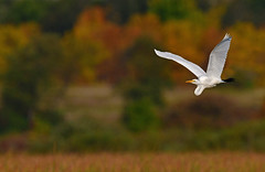 EgretFlightAutumnTwo (Rich Mayer Photography) Tags: bird birds avian egret egrets animal animals trees autumn wild life wildlife nature fly flying flight nikon d850