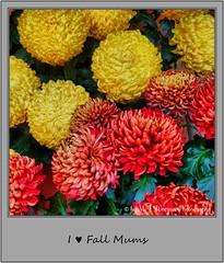 Chrysanthemum 15 (M.J.Woerner) Tags: november fallmums asteraceae chrysanths autumcolors postermums chrysanthemum autumflower