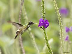 Black-crested Coquette (Lophornis helenae) ♀ (Gmo_CR) Tags: lophornishelenae blackcrestedcoquette coquetacrestinegra costarica arenal observatory lodge female hembra