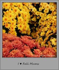 Chrysanthemum 24 (M.J.Woerner) Tags: november fallmums asteraceae chrysanths autumcolors postermums chrysanthemum autumflower