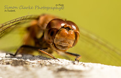 Dragonfly (Simon Clarke Photography©) Tags: dragonfly macro eyes simon simonclarkephotography clarke harlow essex canon 100mm 80d