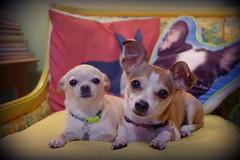 simon and hazel, 9/2017 (EllenJo) Tags: simon hazel chiweenie chihuahua dog pet pets cute ifoundthemsitingtogetherlikethis pals friends pups bostonterrierpillow home livingroom yellowchair