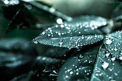 Have a beautiful weekend, my friends :) (martinap.1) Tags: nikond3300 nikon40mmmacro natur nature drops tropfen nikon macro makro droplets