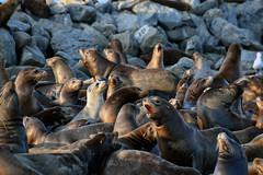 Sea Lions in Moss Landing, CA (Kelly Nigro) Tags: sealions barking ca sea mosslanding seals california animals harbor