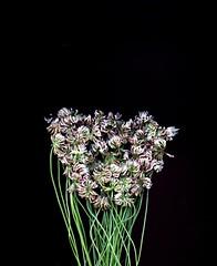 58490.01 Trifolium repens (horticultural art) Tags: horticulturalart trifoliumrepens trifolium clover whiteclover flowers bouquet