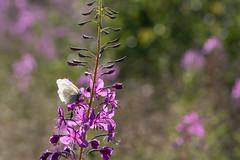Happiness is... (grus_p) Tags: butterfly aporiacrataegi blackveinedwhite epilobiumangustifolium rosebaywillowhwrb july evening sunlight summer happiness beautyofnature beautyofcalmness sunshine flower luminanceboréale finland