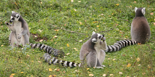 Lemur dinner party