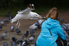 St Margarets Loch September 2017-59 (Philip Gillespie) Tags: focus panning tracking birds motion swans ducks geese pigeons seagulls gulls water park nature outdoors wildlife canon eos 5dsr outside hill grass green blue white black mono monochrome colour wings feathers people kids men women girls boys bench feeding food contrast beaks bills rain spread flying swimming wet drops sky clouds eyes splash drip sitting ruin