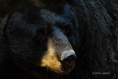 IMG_2021 black bear (starc283) Tags: w nature naturesfinest wildlife starc283 outdoors outdoor canon canon7d bear blackbear flicker flickr