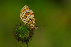 Melitaea deione (12) (JoseDelgar) Tags: insecto mariposa melitaeadeione 425876638733349 josedelgar naturethroughthelens coth thegalaxy coth5 contactgroups