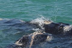 Cape Town - Hermanus, Gansbaai (Klaus S. Henning) Tags: cape town kapstadt klausshenning klaus s henning hermanus gansbaai whale watching safari boat wal boot blau blue water wasser