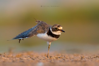 Little Ringed Plover Stretching