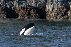 _K8A9042   pete (pete#1) Tags: orca bute near ocean