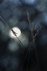 Point of light (explore) (Rafael Díez) Tags: españa larioja camprovin macro bokeh verano rafaeldíez naturaleza animales saltamontes sol sun
