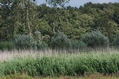 Short toed eagle (reneadelerhof) Tags: bird birdofprey vogel slangenarend slang naardermeer snake eagle