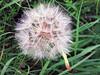 Wiesenbocksbart (Veit Schagow) Tags: lehnin brandenburg landschaft 2017 wiesenbocksbart flugsamen samenstand plant flower pusteblume blume germany