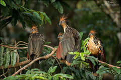 Hoatzin family (lironsnaturephotography.com) Tags: hoatzin ophisthocomushoazin bird birds birding birdwatching birdphotography natural naturephotography nature animal animals wild wildlifephotography wildlife canon outdoor outdoors adventure forest forests tree trees amazon amazonrainforest rainforest ecuador equator southamerica tropics tropical canoneos7dmarkii canon7dmarkii 7dmarkii canonef100400mmf4556lisii canon100400mm canon100400mmii 100400mm 100400mmii lironsnaturephotographycom