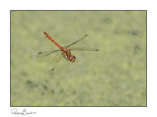 Common Darter (Sympetrum striolatum) dragonfly in flight