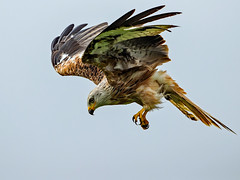 "Lets go fly a kite... (coopsphotomad) Tags: ""red kite"" bird raptor animal wildlife nature ""bird prey"" flight predator sky explored explore"