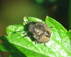 Hairy Shieldbugs - Dolycoris baccarum (erdragonfly) Tags: dolycorisbaccarum