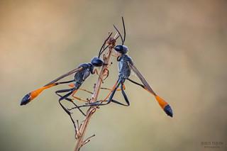Avispas de la arena - Ammophila sabulosa