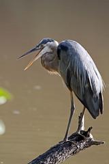 In Explore... Great blue heron greeting (John's Love of Nature) Tags: greatblueheron ardeaherodias inexplore johnkelley