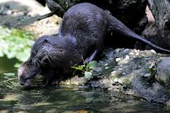 Uff...another bath ! (carlo612001) Tags: puppy cub pup puppies whelp bath otter lontra lontranana aonyxcinerea parcofaunisticolatorbiera latorbiera