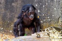 Hello ................. (DirkVandeVelde on and off) Tags: europ europa europe belgie belgium belgica buiten belgique biologie antwerpen anvers antwerp animalia animal mechelen malines malinas mammalia muizen planckendael park zoo zoogdieren dieren dierentuin dierenpark sony fauna bonobo apen primates primaten