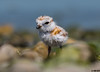 "Piping Plover Chick (""DEB"") Tags: pipingploverchick bird ctbird pipingplover protectedbird plover ocean shorebird d500 nikon200500mm"