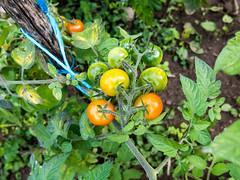 Cherry tomato (Elise de Korte) Tags: fr france frankrijk ldf lafrance campagne country garden groente groentetuin jardin kerstomaat légumes moestuin plant platteland potager tomaat tomate tomaten tomates tomato tomatoes tuin vegetablegarden vegetables veggiegarden