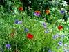 Coquelicots et bleuets (prime.claude) Tags: bleuets coquelicots flowers
