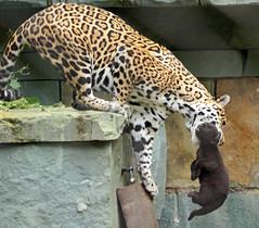 jaguar Rica and cub artis BB2A4752 (j.a.kok) Tags: jaguar pantheraonca rica cub jaguarcub artis mammal animal cat kat zoogdier dier zuidamerika southamerica