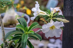 White Desert Rose (BLiTzBaLLeRx) Tags: white desert rose flower nex6 sony mirrorless xfujinon 119 f50mm