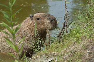Hydrochoerus hydrochaeris - Capybara