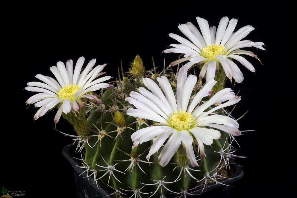 The Worlds Best Photos Of Acanthocalycium And Spiniflorum Flickr