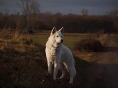 Filou in der Abendsonne (reuas ogni) Tags: filou olympus zuiko isoz weisserschäferhund hund dog whiteshepherd berger blanc suisse