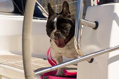 DSC06432 (Anastasia Neto) Tags: dog dogphotography dogmodel dogs dogphotographer petmodel puppies petphotography puppy petphotographer pet cutepuppies cutepuppy frenchbulldog frenchies funnydog frenchbulldogs funnydogs