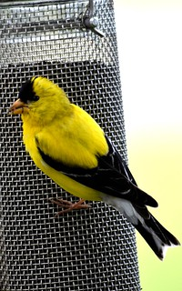 Male Goldfinch on the Thistle Feeder