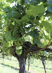 File271 (UGA CAES/Extension) Tags: grapes ugaextension cranecreekvineyards wine viticultureteam viticulture northgeorgiavineyards vineyards vines georgiawine uga