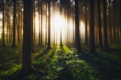 Enlighten me! (der_peste) Tags: forest light sunlight sunrise sunset sunbeam sunrays sunray forestscape mist misty fog foggy trees silhouettes shadow lightandshadow mood atmosphere lurky murky