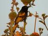 Drepanorhynchus reichenowi ♂ (Luis G. Restrepo) Tags: p2520767 p2520754 suimangaalidorado goldenwingedsunbird drepanorhynchusreichenowi ave bird ngorongoro cráter crater tanzania africa nectariniidae nectarina passeriformes safari roysafaris