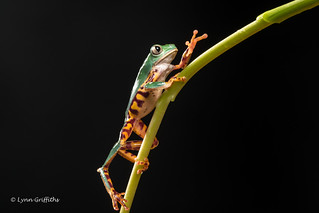 Super Tiger Legged Waxy Monkey Leaf Frog D50_8049.jpg