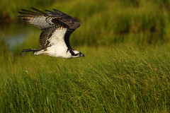 Osprey in Flight (Mark Schwall) Tags: bird nj newjersey nikon d500 markschwallphotographycom nikkor200500f56vrafs wildlife flight bif birdinflight edwinbforsythenwr pandionhaliaetus osprey