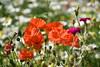 Poppies (Manoo Mistry) Tags: nikon nikond5500 tamron18270mmzoomlens tamron flowers plants colours garden parks orange poppy poppies poppyfield