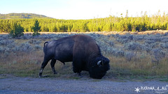 20160911_081812_1 (pleroma_4_all) Tags: yellowstone yellowstonenationalpark oldfaithful nature zen beauty naturebeauty landscapes nationalparks usa wyoming wolves bears bison buffalo foxes mountains hiking outdoors grandteton tetons geysers grandprismatic springs
