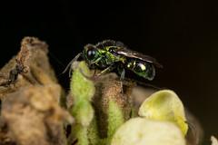 Chrysidid Wasp (Pseudomalus pusillus ) (The LakeSide) Tags: insect macro closeup nikon r1c1 d7100 chalcidoid wasp parasitic